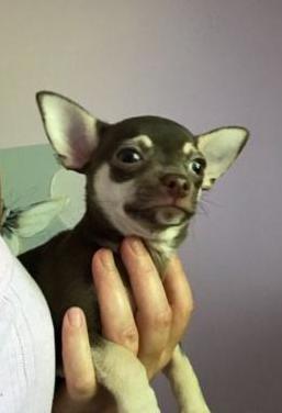 Disponible macho chihuahua toy