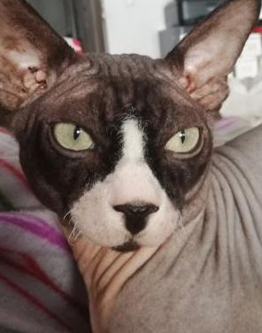 Gato sphynx para monta