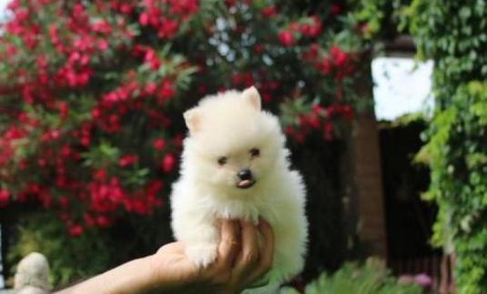 Ideales cachorritos pomerania!!