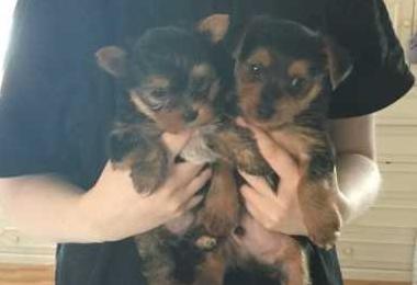 Miniatura yorkshire terrier cute puppy, en
