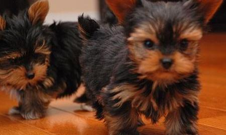 Muy pequeños cachorros yorkie teacup