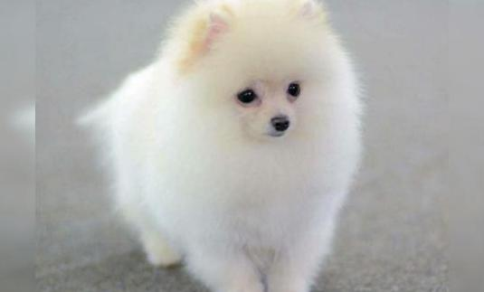 Pomerania miniatura!!
