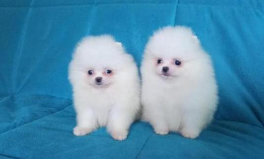 Pomerania minis