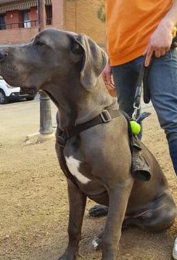 Precioso cachorro gran danes