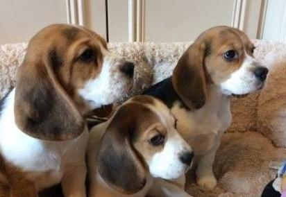 Regalo beagle cachorros