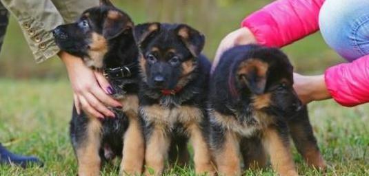 Regalo cachorros de pastor aleman