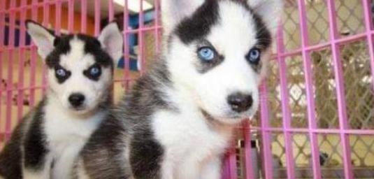 Raza pura pedigrí completo husky siberiano