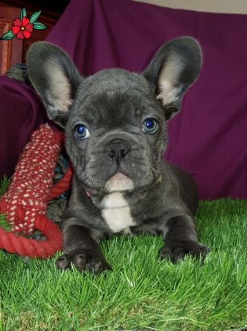 Regalo lindo y saludable Cachorros Bulldog Francés, para
