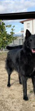 Cachorros de pastor belga groenendael
