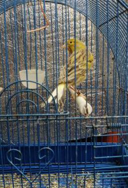 Canarios macho