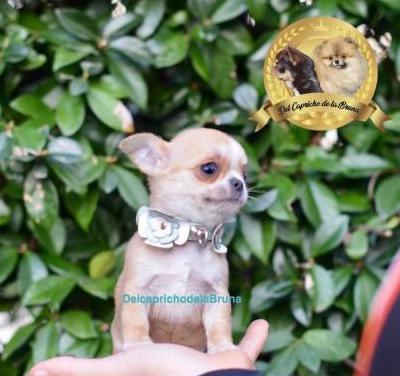 Chihuahua macho línea rusa