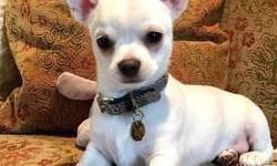 Chihuahua para adopcion