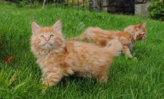 Impresionantes gatitos de maine coon