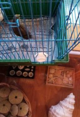 Pajaros pareja timbrados canario y jaula