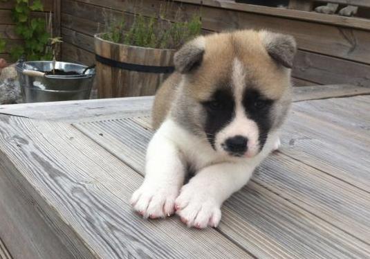 Akita inu puppies
