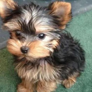 Biewer yorkshire terrier cachorros