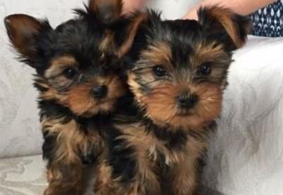 Cachorros yorkie para la adopción