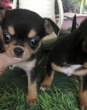 Chihuahua macho y hembra