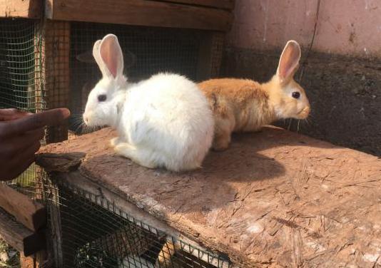 Conejos enanos, bellier y angora