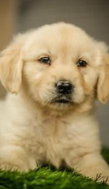 Golden retriever - calidad