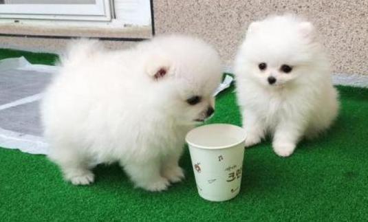 Los mejores cachorros de pomerania