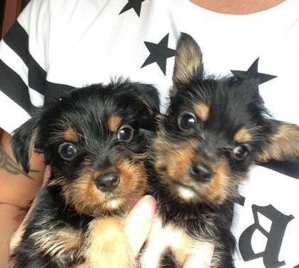 Perros cruce yorkshire