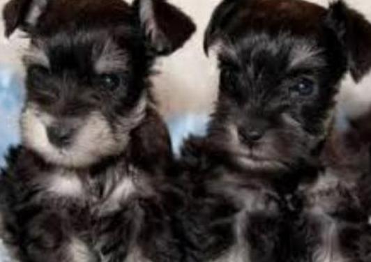 Preciosos cachorritos de schnauzer