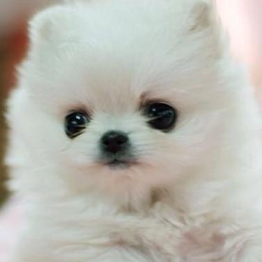 Pomerania cachorro listo para un nuevo hogar.
