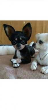 Regalo cachorros chihuahua