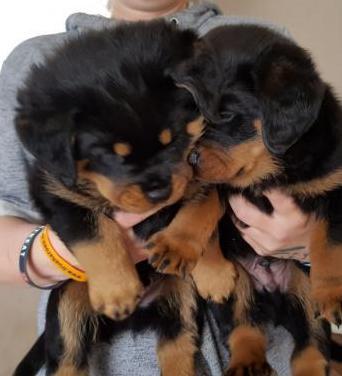 Regalo cachorros hermosos rottweiler