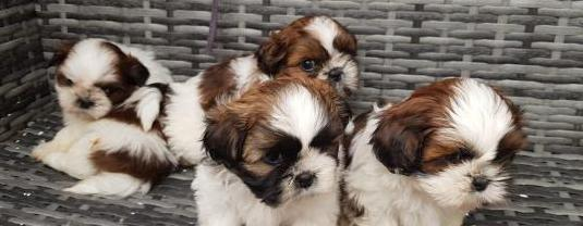 Shih Tzu cachorros