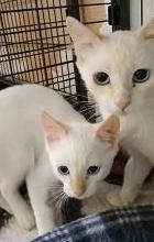 Tivoli y taco. gatos en adopción