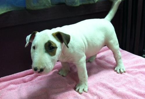 Aa...2 regalo cachorros bull terrier para adopcion jkghjh