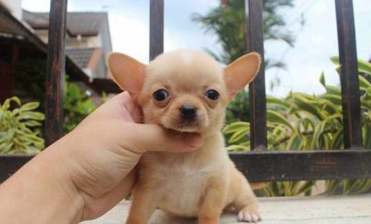 Cachorros chihuahua para adopción
