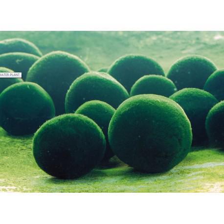 Bola de musgo japones