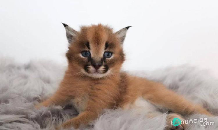 Gatitos características caracal ocelote serval ben