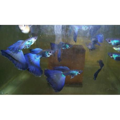Hembra guppy blue moscow seleccion