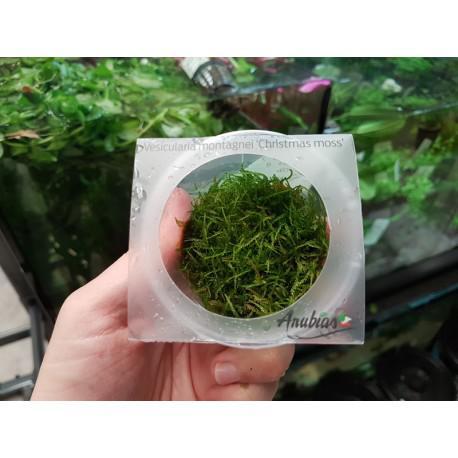 Musgo de java (cubito - christmas moss)