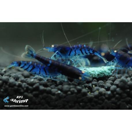 Tiger blue (azul fuerte) (gambas para acuarios)