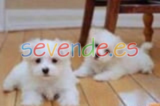 Bichón maltés mini toy cachorros