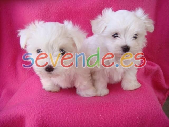 Bichón maltés mini toy cachorros para adopció