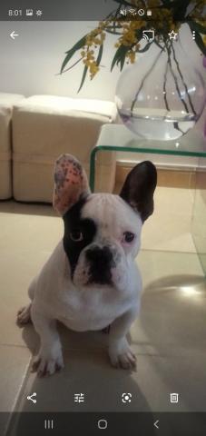Compro cachorro de buldog francés