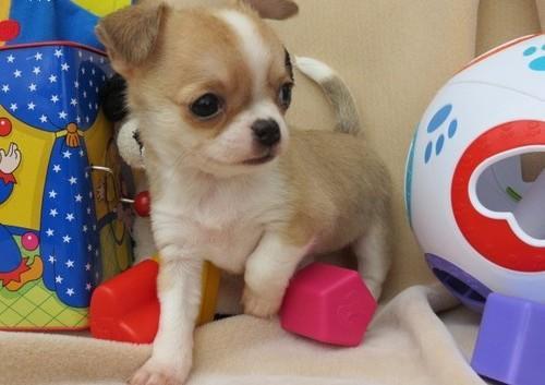 vb...-REGALO ¡chihuahua de 12 semanas de edad,PARA ADOPCION