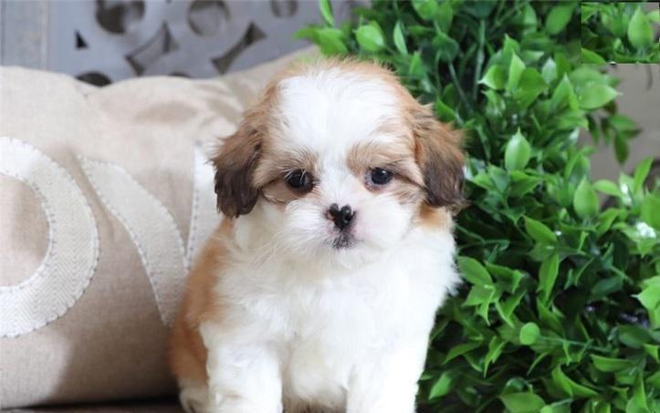 Cachorro shih tzu en adopcion