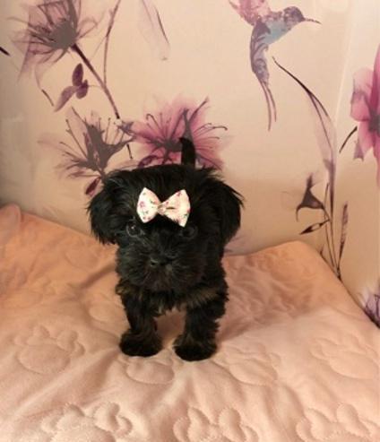 Regalo cachorros yorkshire terrier mini toy, ewq