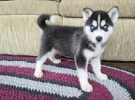 Regalo preciosos cachorros husky siberiano. (+34643530225)