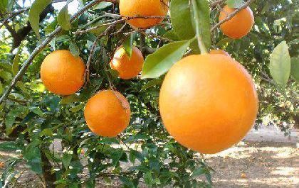 Venta de naranjas en valencia