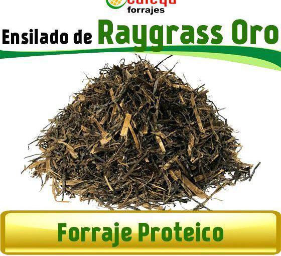 Venta de ensilado raygrass oro extra en badajoz