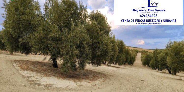 Venta de finca de olivar marteño de regadío en córdoba