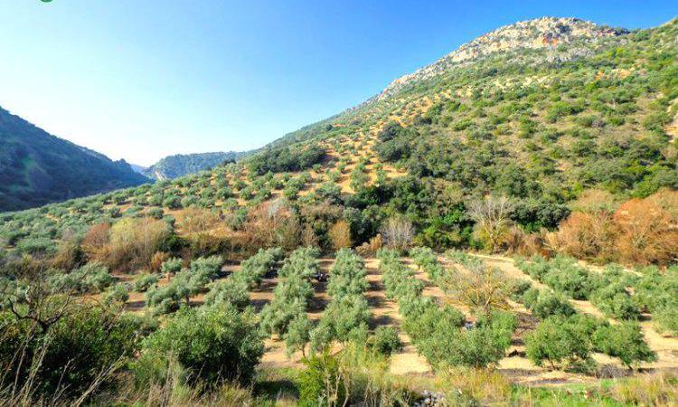 Venta de finca rústica de olivar en granada